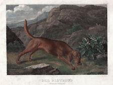 BLUTHUND Blood Hound Hund  Dog Dogs Orig Stahlstich um 1840