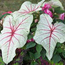 """New listing (5) """"Florida Sunrise Caladiums"""" Large Bulbs for Spectacular Blooms"""