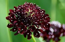 Seeds Scabious Purple Day&Night Flower Annual Outdoor Garden Cut Organic Ukraine