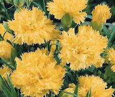 CARNATION GRENADIN YELLOW Dianthus Caryophyllus- 200 Bulk Seeds