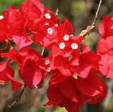 FIREFLY Bougainvillea compact climbing red flowers plant in 140mm pot