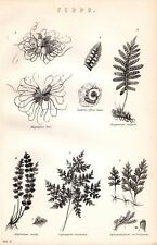 1880 Imprimir helechos Polypodium Asplenium Sori lastrea etc.