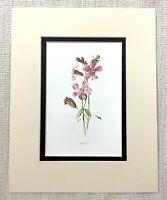 Antico Botanico Stampa Catchfly Rosa Rosso Verde Fiori Floreale Ca. 1913