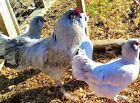 10 Lavender Ameraucana Chicken Hatching Eggs NPIP Rare Paul Smith