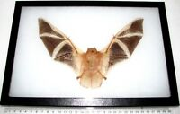 Kerivoula picta REAL RED ORANGE FIRE BAT WINGS SPREAD TAXIDERMY 12IN X 8IN FRAME