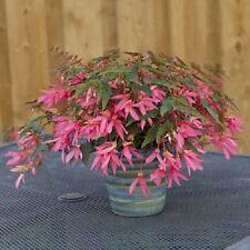 15 Pelleted Seeds Begonia Seeds Begonia Bossa Nova Rose Trailing Begonia
