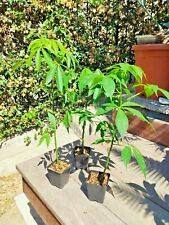 Ceiba Speciosa Chorisia kapok plant baobab albero bottiglia SUD AMERICA