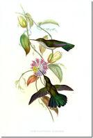 "Vintage Hummingbird Art John Gould CANVAS PRINT~ Campylopterus Obscurus 8""X 12"""
