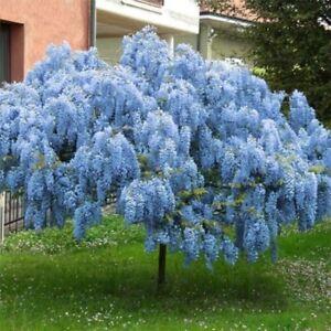 5 Blue Chinese Wisteria Seeds Vine Climbing Flower Perennial Rare Tropical 679