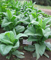 10x Echte Virginia Gold Tabakpflanze,Exotisch,NicotianaTabacum,Rauchtabak,XS