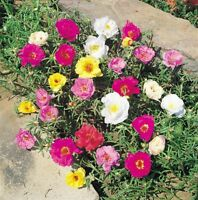 Portulacca Double Flower Mix Seed Annual Succulent 200 Seeds