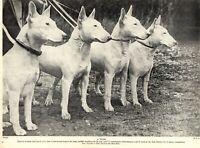 1930s Antique BULL TERRIER Dog Print Vintage Photo Print 3737 K