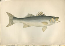 """1877 Couch's """"BASS""""  Sea Fishes - Beautiful Hand-Coloured Fish Lithograph Print"""