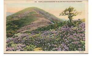 1935 Purple Rhododendron Blue Ridge Parkway Great Craggy Mountains Asheville NC