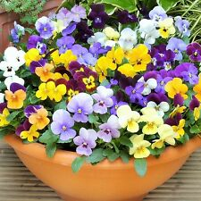 Viola Bambini Mix (100 Seeds) - Life-Force Seeds