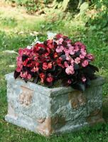 Begonia Nightlife Mix Seeds Flowers All Summer Long - Bedding Begonia
