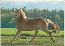 Horse Postcard - Haflinger gelding - Elias