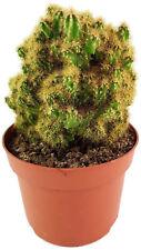 """Felsenkaktus - Cereus peruvianus monstrosus - """"Golden Spine"""" - goldener Kaktus"""