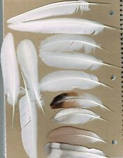 (01-001) 12 Assorted Fancy Pigeon Feathers