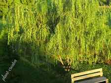 "35 Weeping Willow Tree Cuttings Salix Babylonica ready to root.12""long"