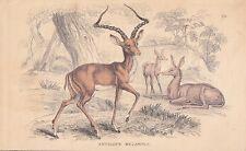 Impala Aepyceros melampus altkolorierter STAHLSTICH von 1837 Schwarzfersenantilo