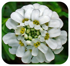 Iberis sempervirens 'Snowflake' Candytuft Plug Plants x 6 Hardy Perennial