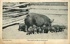 HOG WITH LOTS OF PIGLETS HOW WOULD YOU LIKE TO BOARD HERE? PHOTO POSTCARD c1910s