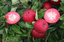 Apfelbaum 'Rosette'® rotes Fruchtfleisch - Pflanze 160-180cm im Topf - Resistent