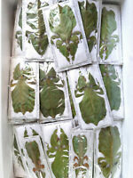 WHOLESALE GREEN COLOR PHYLLIUM PULCHRIFOLIUM 1F, JAVA, INDONESIA. UNMOUNTED