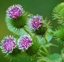 BURDOCK ARCTIUM LAPPA medicinal herb plants in 100mm pot