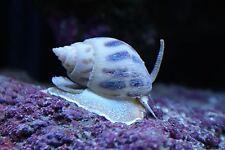 Super Nassarius Snails Clean up Crew CUC X 50 Pack Marine Reef Aquarium