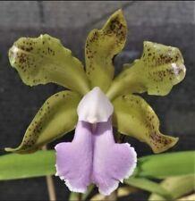 Cattleya Fascelis Coerulea (bicolor Coer X aclandiae Coer) 3� Pot Seedling (15)