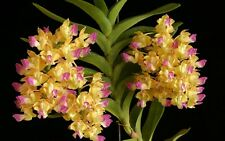 Orchid Aerides houlletiana species