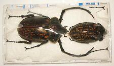 Cheirotonus peracanus pair with male 66mm A- (Euchirinae)