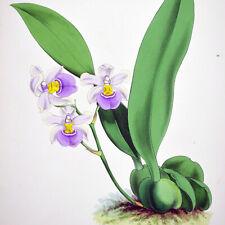 ODONTOGLOSSUM KRAMERII - 1888 HAND-COLORED FITCH / WARNER ORCHID