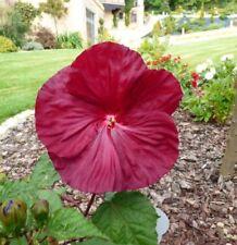 Sommerpflanze i! RIESEN-HIBISKUS !i gigantisch grosse Blüten.