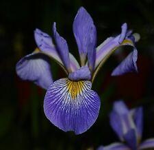 Water Plants- Iris hybrid  'Gerald Darby''