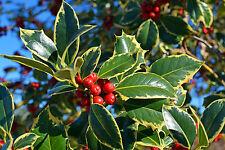 1 'Golden King' Holly Plant /Ilex aquifolium 20-30cm in 2L Pot Excellent Hedging