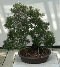 Baumsamen Nadelbaum Günstig Kaufen Ebay