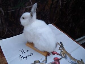 Taxidermy Bunny Rabbit White   Excellent