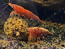 New listing 150 Pesticide-Free Alder Cone:For Shrimps/Fish. Adds Natural Tannins For Health