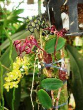 Bulbophyllum planibulbe orchid plant Bloom Size Thailand Cites Phyto