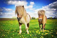A1 | Shetland Ponies Poster Art Print 60 x 90cm 180gsm Horse Pony Fun Gift #8518
