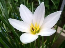 *UNCLE CHAN* 3 BULB RAIN LILY white Zephyranthes Grandiflora FLOWERING 2017