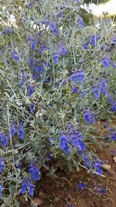Teucrium fruticans 'Quarzazate', 20 seeds