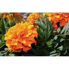 Flower Seeds Marigold Valencia For Bee Slugs Bedding Garden Pictorial Packet UK