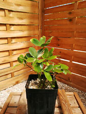 Zamia furfuracea cv. variegata; très rare! Z2 Cycad, Encephalartos, Dioon, Cycas