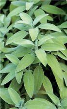 Sage (Salvia officinalis) 50 Enteric Delayed Release Caps Capsules Pure