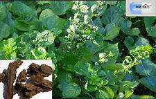 DR T&T Xuan Shen (NINGPO nodosa Root) radice scrophulariae ningpoe 100 G erba secca