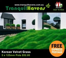 5 x 125mm Pots Korean Velvet Grass (Petting Grass) Zoysia Tenuifolia Free Post